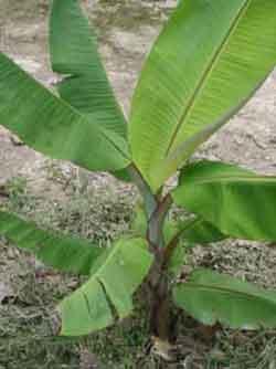ต้นกล้วย