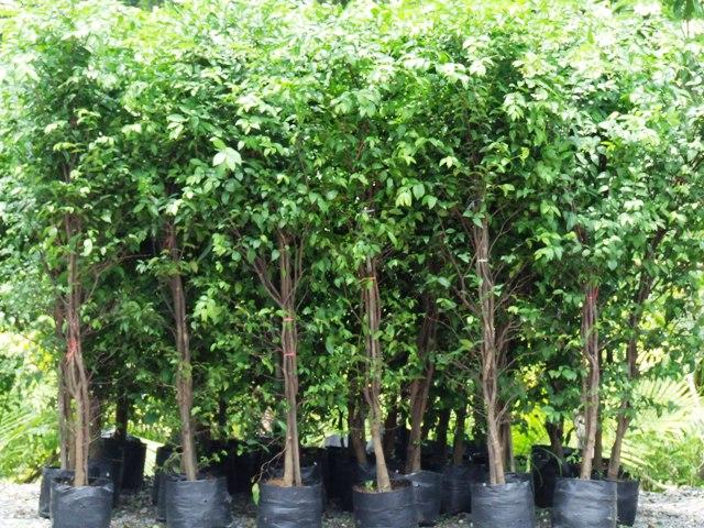 15 ต้นไม้มงคล ที่คนนิยมปลูกไว้ในบ้าน