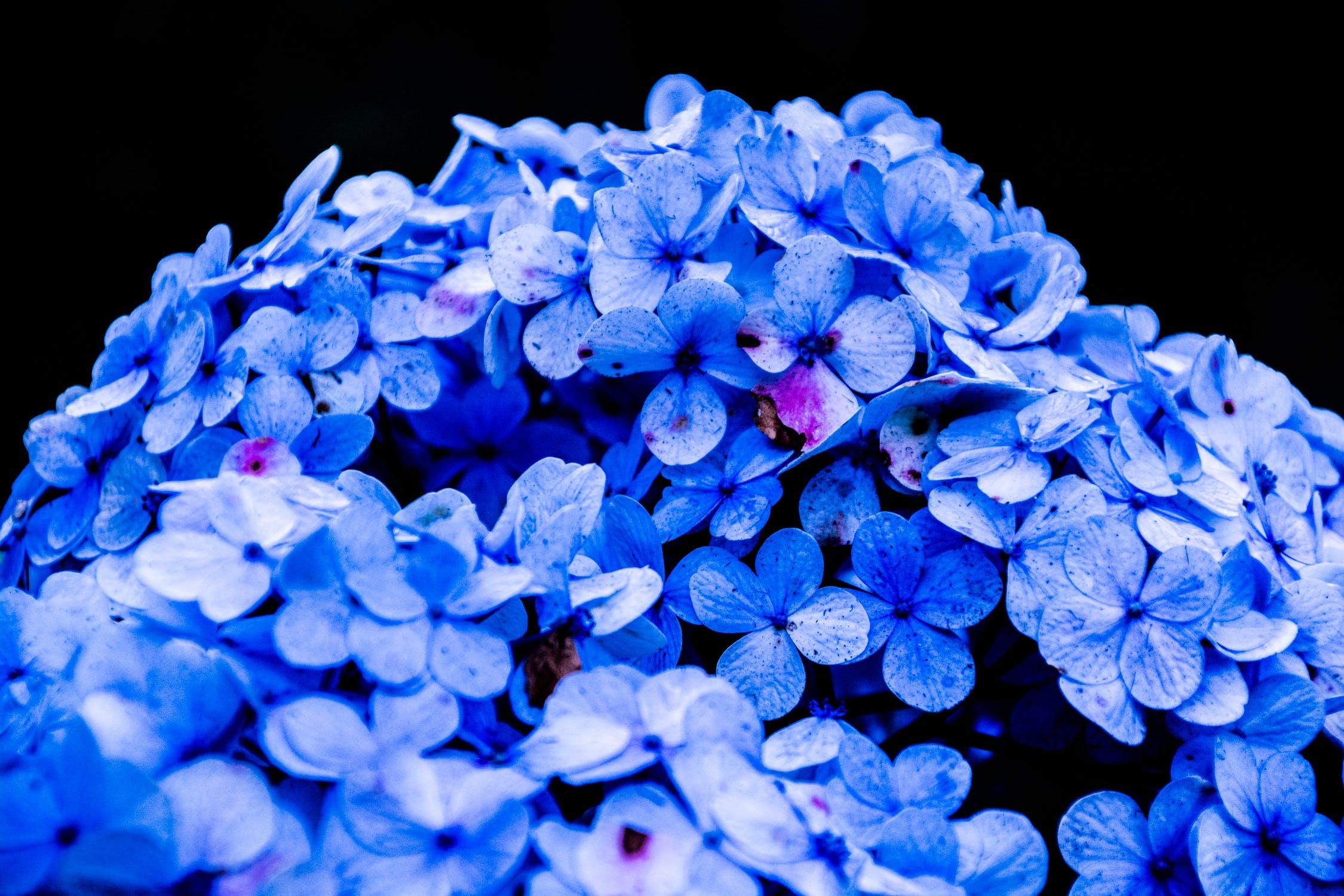 ดอกไฮเดรนเยียเว้าวอนขอคืนดี